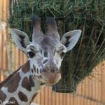 Tierwelt - Giraffe